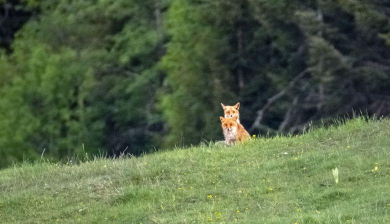 La fédération de chasse du Jura assure que moins de 70 renards sont abattus durant les tirs d'été, autorisés depuis 2007 pour cette espèce. / © Nature Jura
