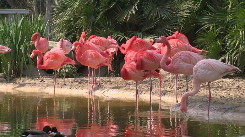 Les flamands roses sont l'un des emblèmes du zoo de la Palmyre (Charente-Maritime). / © Pierre Lahaye (FTV)