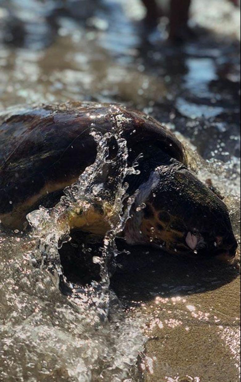 Voici la tortue qui s'est échouée sur la plage de Sainte-Croix à Martigues. Les échouages de tortues sur les plages sont des événements rares qui suscitent beaucoup d'intérêt et de questions. / © C. Bosshardt/FTV