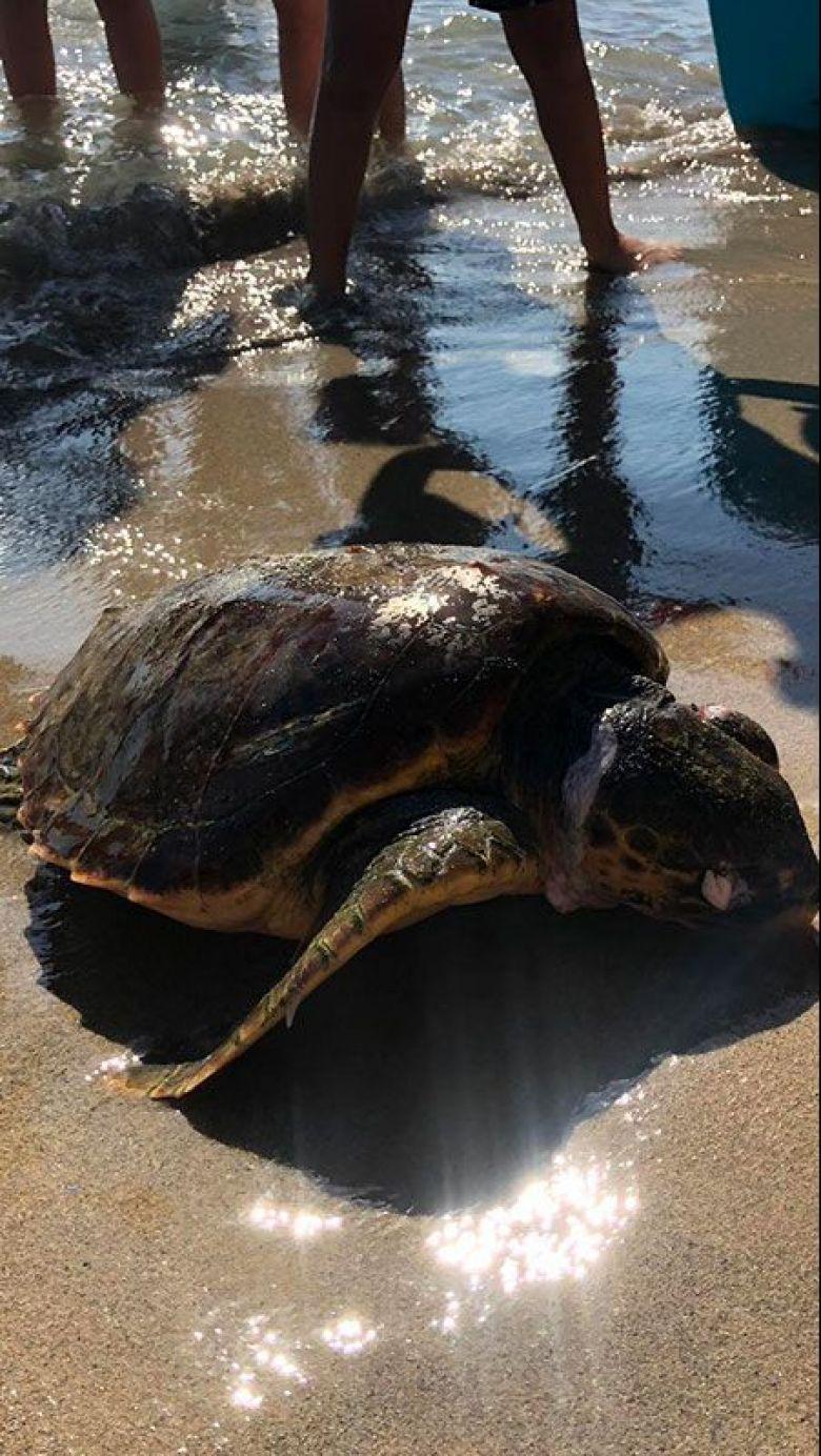 Les échouages de tortues sur les plages sont des événements rares qui suscitent beaucoup d'interet et de questions. exemple ici à Martigues sur la plage de Sainte-Croix. / © C. Bosshardt