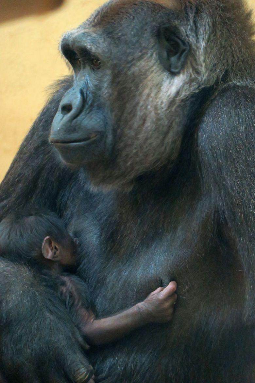 Bébé gorille à la Vallée des singes / © Vallée des singes
