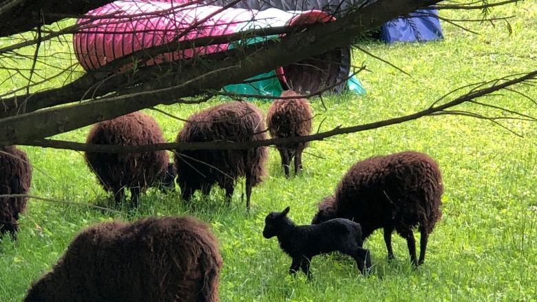 Les chèvres naines et les agneaux tués appartenaient à ce troupeau issu d'un refuge à Saint-Paul-de-Varces. / © Céline Aubert / France 3 Alpes