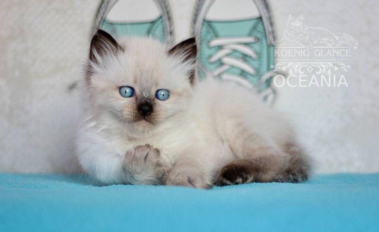 Le Neva Masqurade, un chaton aux yeux bleus taillé pour les grands froids de Sibérie, mais une boule de chaleur avant tout. Océania. / © Koenig Glance