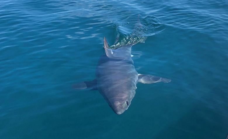 Entre Paimpol et la Côte de Granit rose le requin-taupe est régulièrement signalé depuis 2013 / © Jean-Charles Guichen
