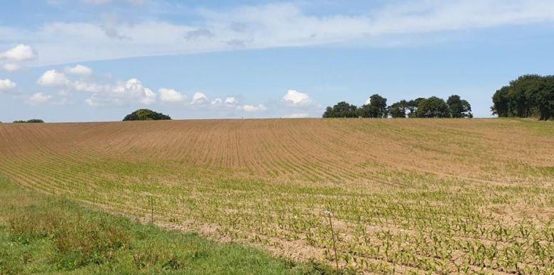 Parcelle de maïs clairsemée suite au passage des choucas / © DR