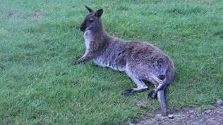 Le petit marsupial a été placé en quarantaine à l'infirmerie de Planète Sauvage / © DR Planète Sauvage